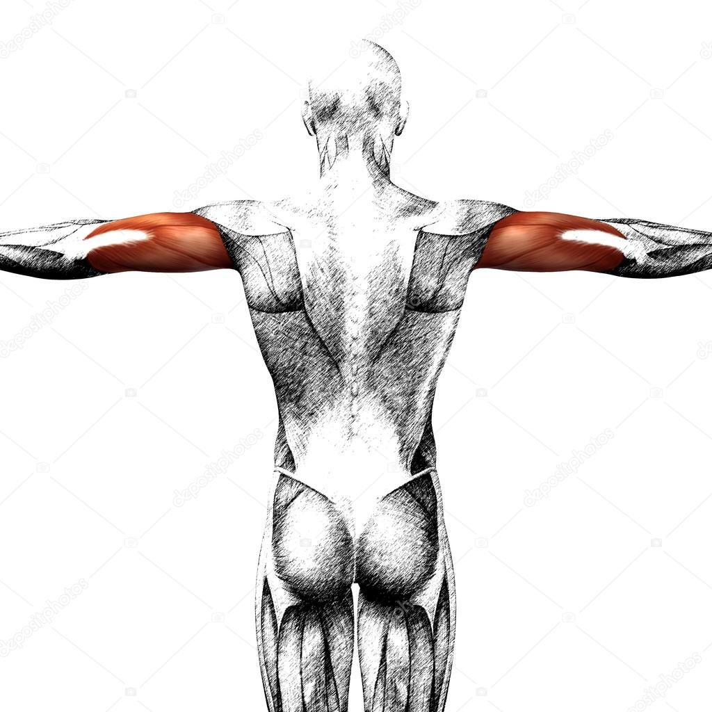 Trizeps menschliche Anatomie — Stockfoto © design36 #123104716