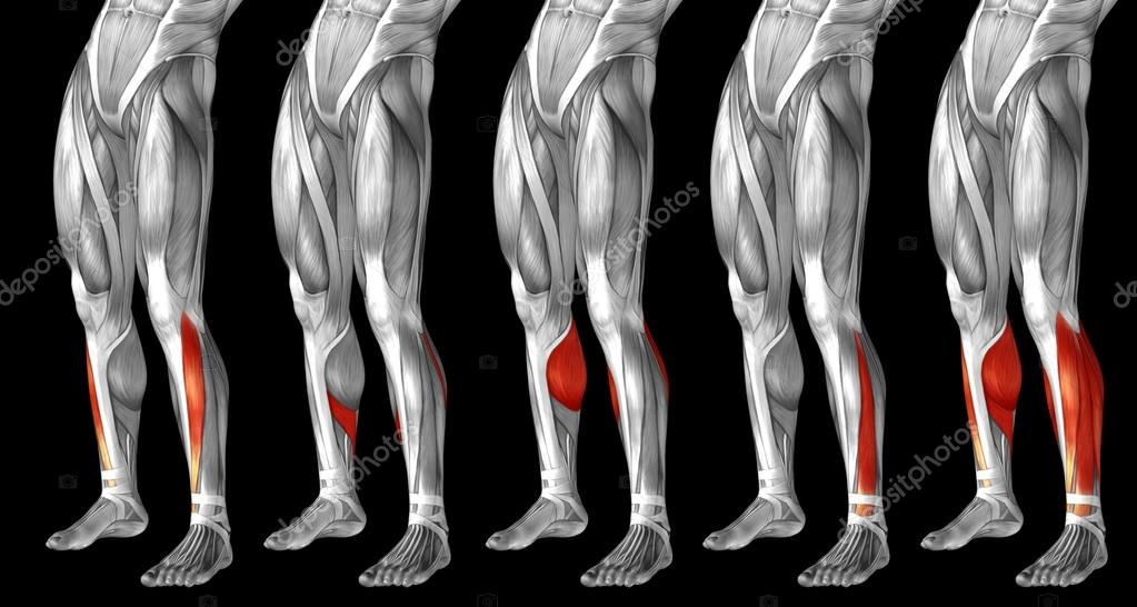 legs anatomy and muscles — Stock Photo © design36 #123106728