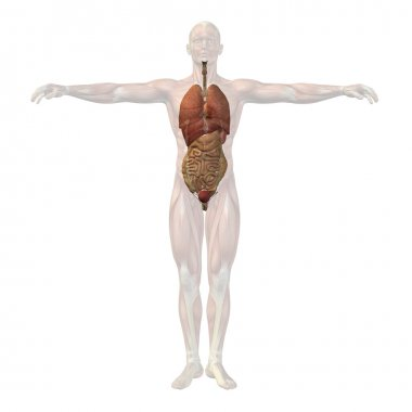 Human man structure with internal organs