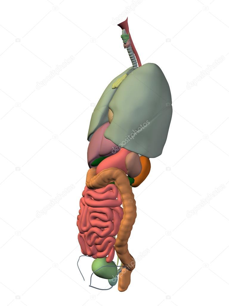 Órganos internos abdominales o de tórax para la anatomía — Fotos de ...