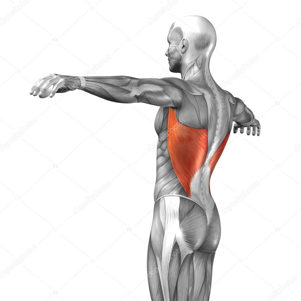 Wieder menschliche Anatomie — Stockfoto © design36 #67983575