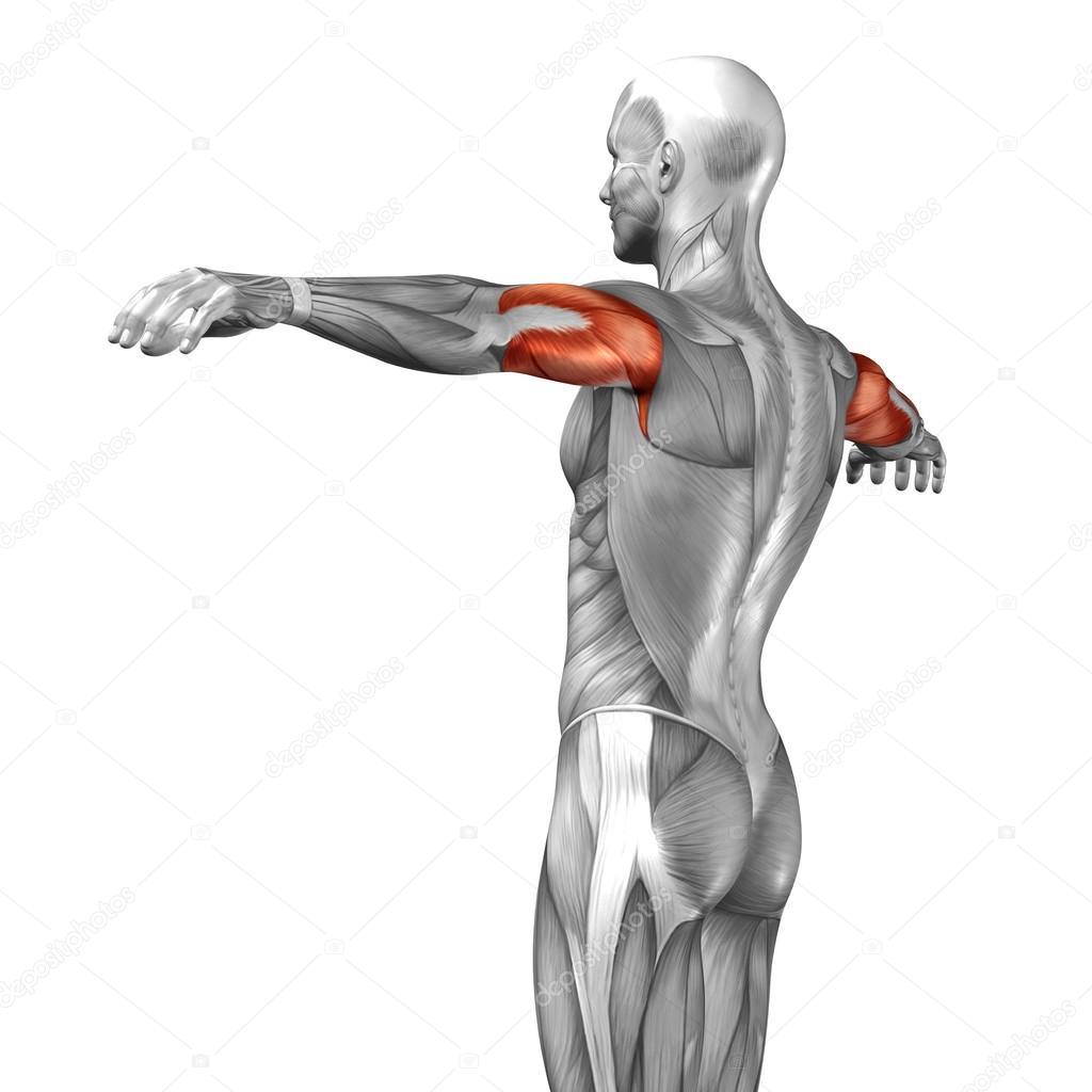 Trizeps menschliche Anatomie — Stockfoto © design36 #67983619