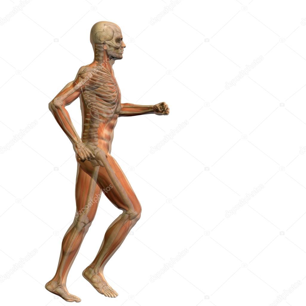 3d Anatomie des Menschen — Stockfoto © design36 #68268547