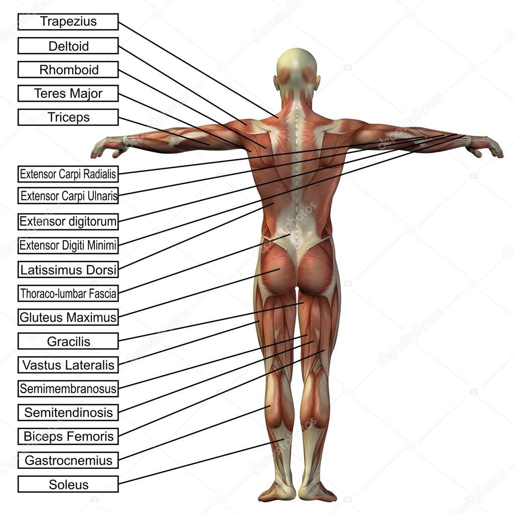 Atemberaubend Anatomie Muskeln 3d Zeitgenössisch - Menschliche ...