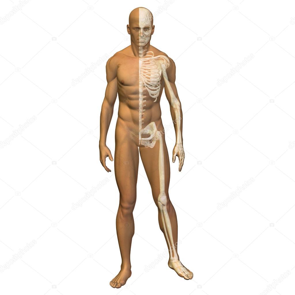 3D Anatomie mit Muskeln — Stockfoto © design36 #68268997