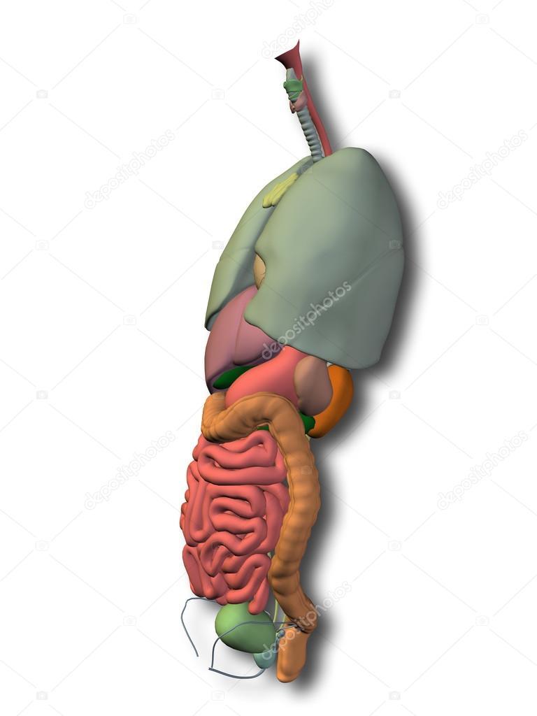Órganos abdominales internos — Fotos de Stock © design36 #68269159