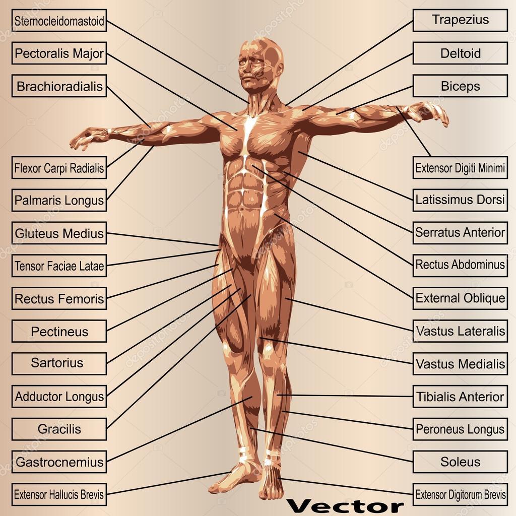 Männlichen Anatomie mit Muskeln — Stockvektor © design36 #68269965