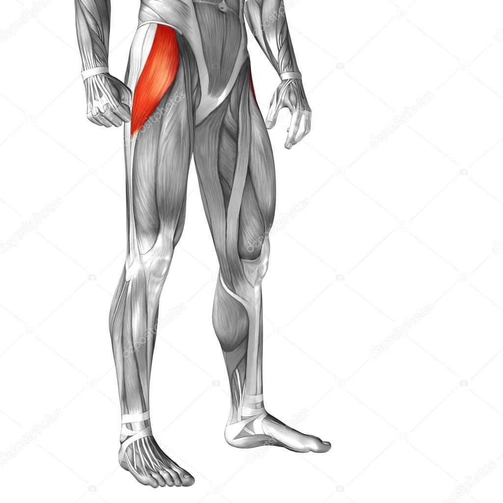 menschliche Oberschenkel-Anatomie — Stockfoto © design36 #68657353