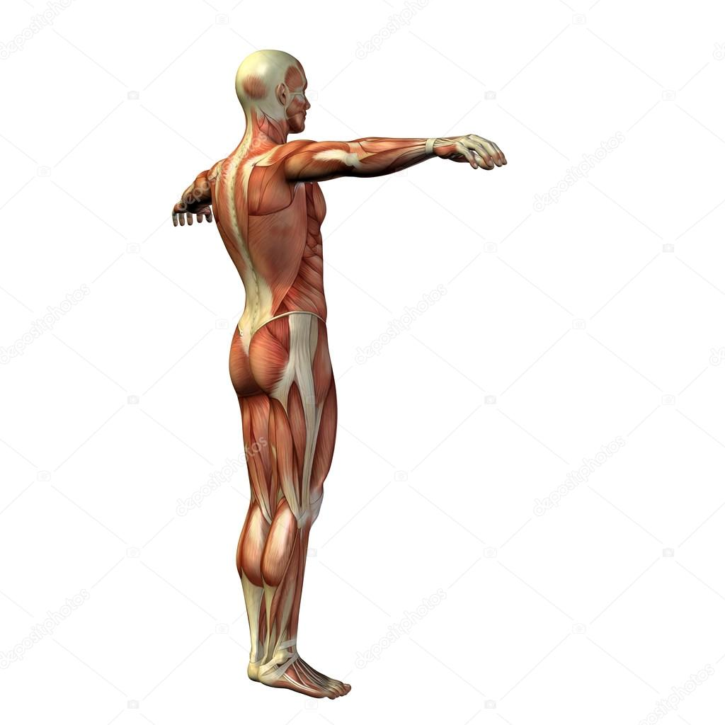 Man With Muscles For Anatomy Designs Stock Photo Design36 68657653