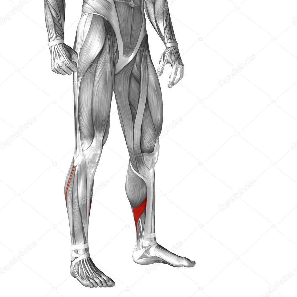 untere Bein Anatomie — Stockfoto © design36 #68659021