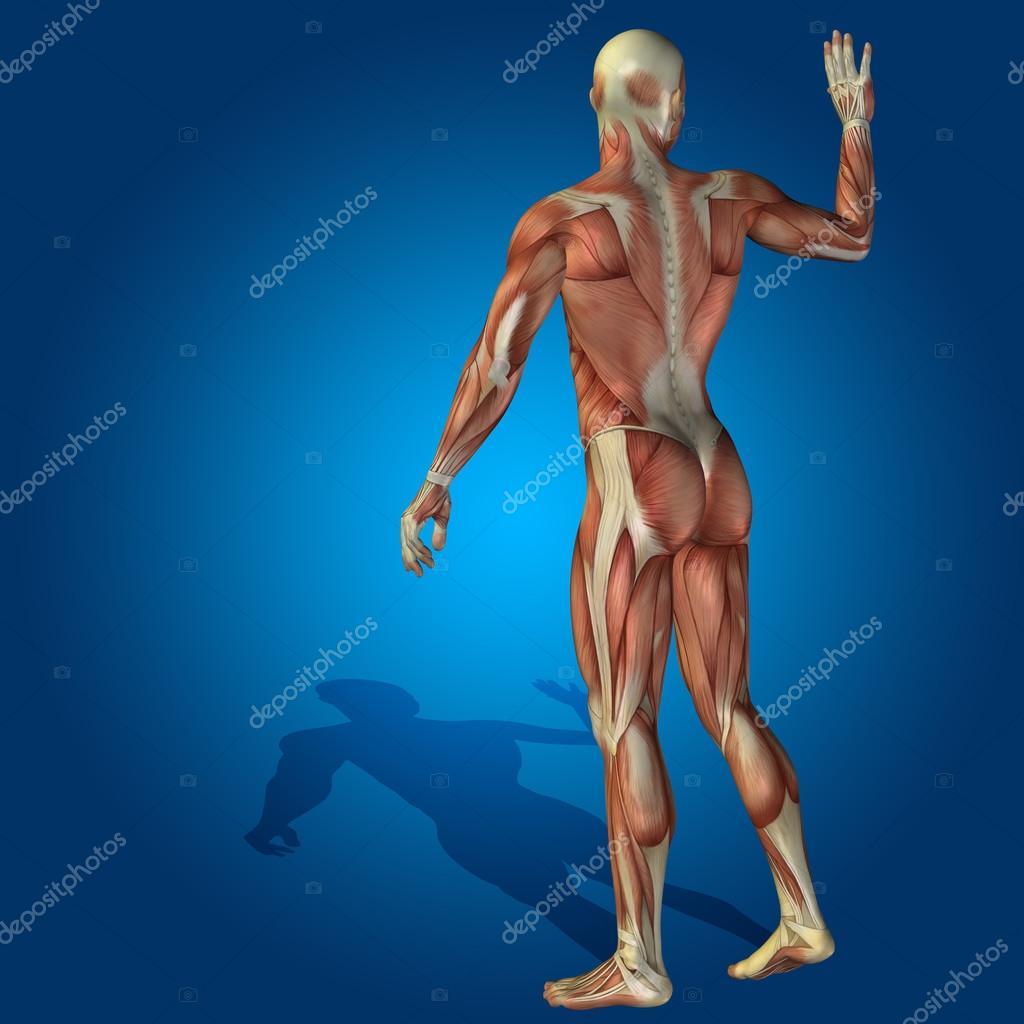 3D Anatomie-Körper — Stockfoto © design36 #68930653