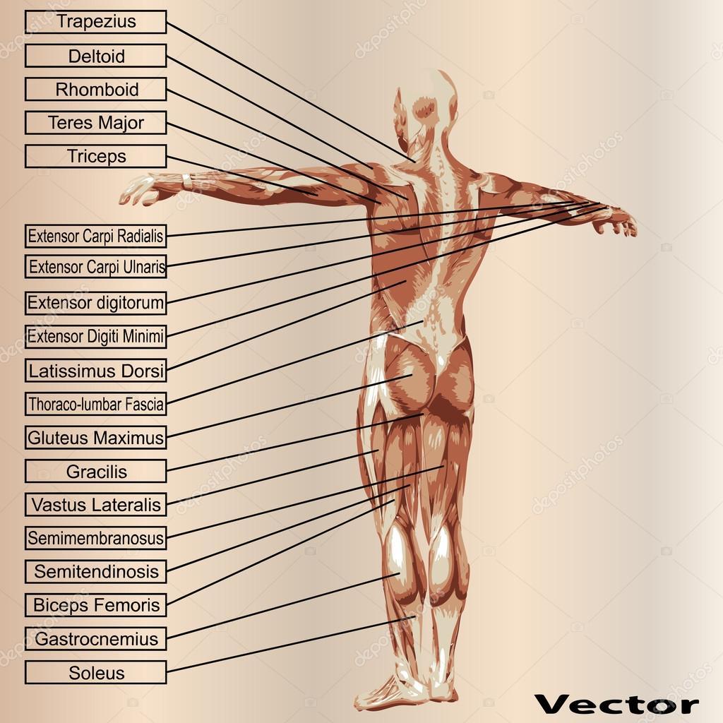 Männlichen Anatomie mit Muskeln — Stockvektor © design36 #68930171
