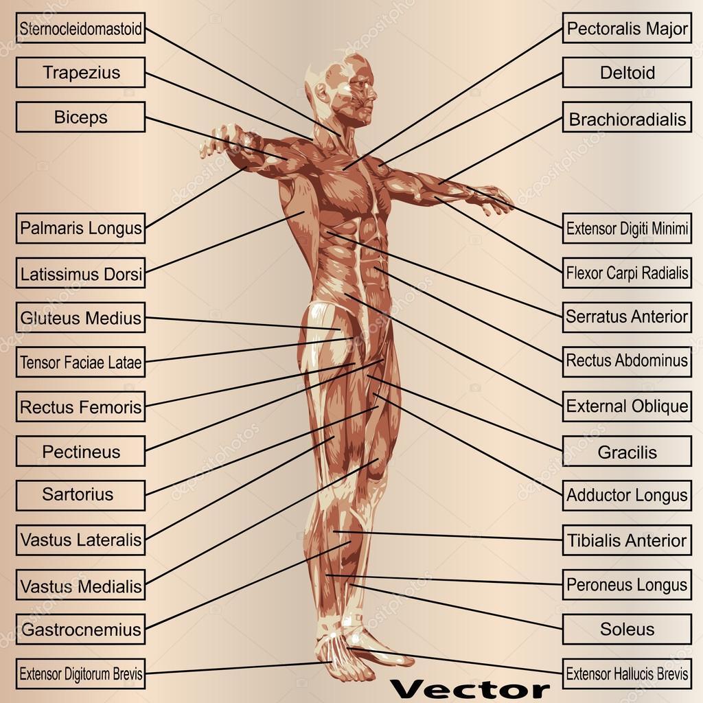 Männlichen Anatomie mit Muskeln — Stockvektor © design36 #68931093
