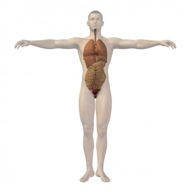 Conceptual  human  structure