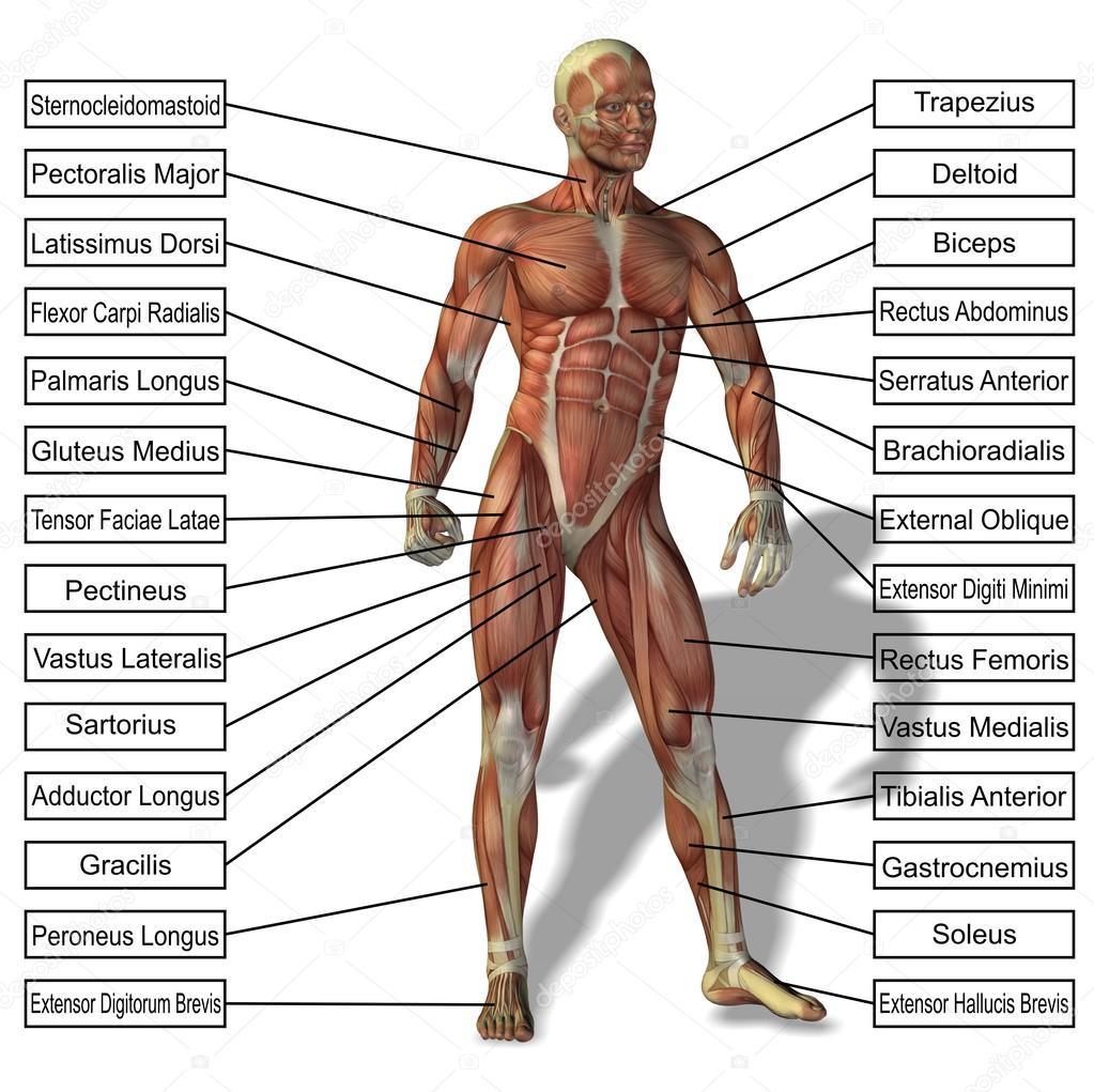 menschliche Anatomie und text — Stockfoto © design36 #69287281