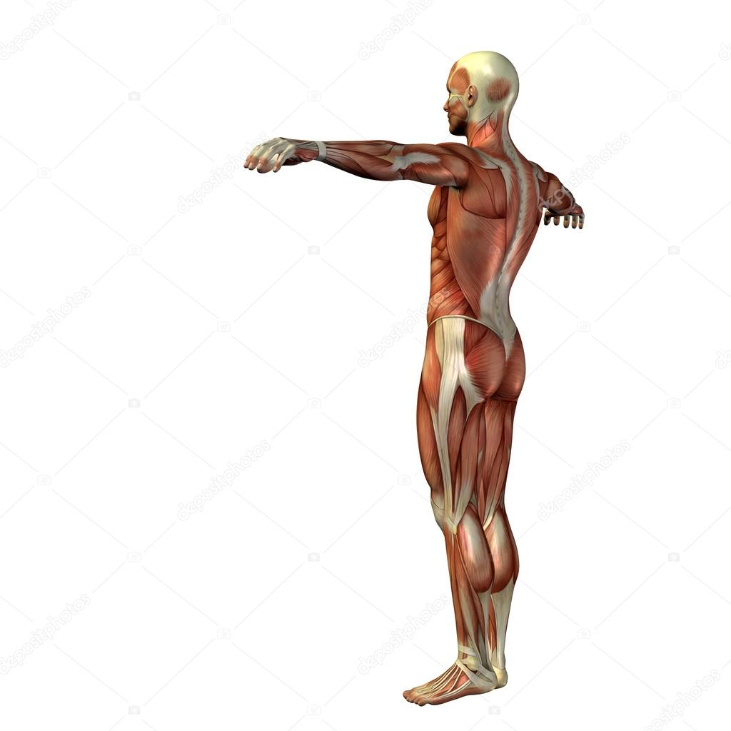 man met spieren voor anatomie ontwerpen — Stockfoto © design36 #69287547