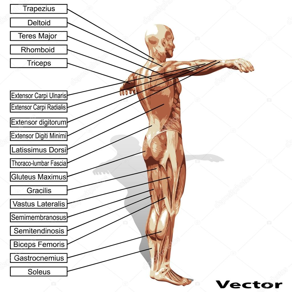 Menschliche Anatomie mit text — Stockvektor © design36 #69286577
