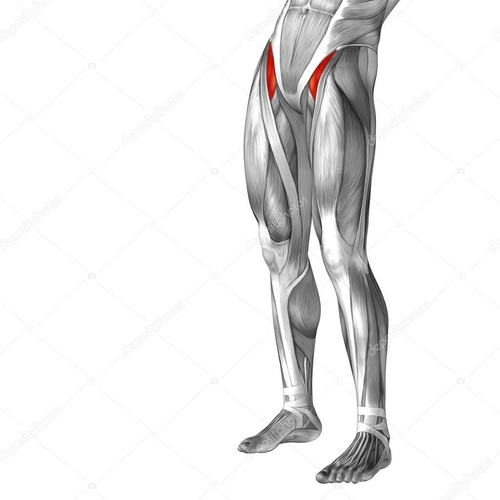 Oberschenkel-Anatomie — Stockfoto © design36 #69601287