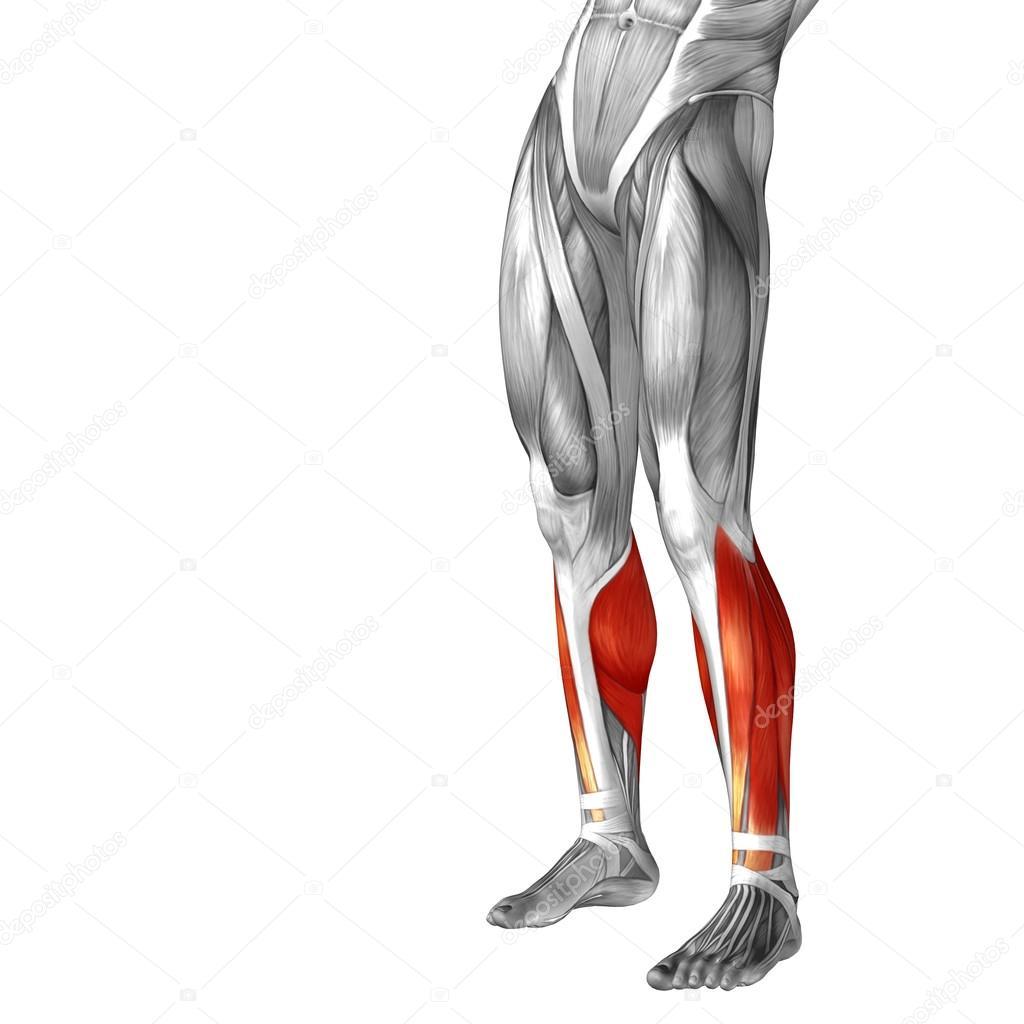 Anatomía de la pierna inferior — Fotos de Stock © design36 #69601339