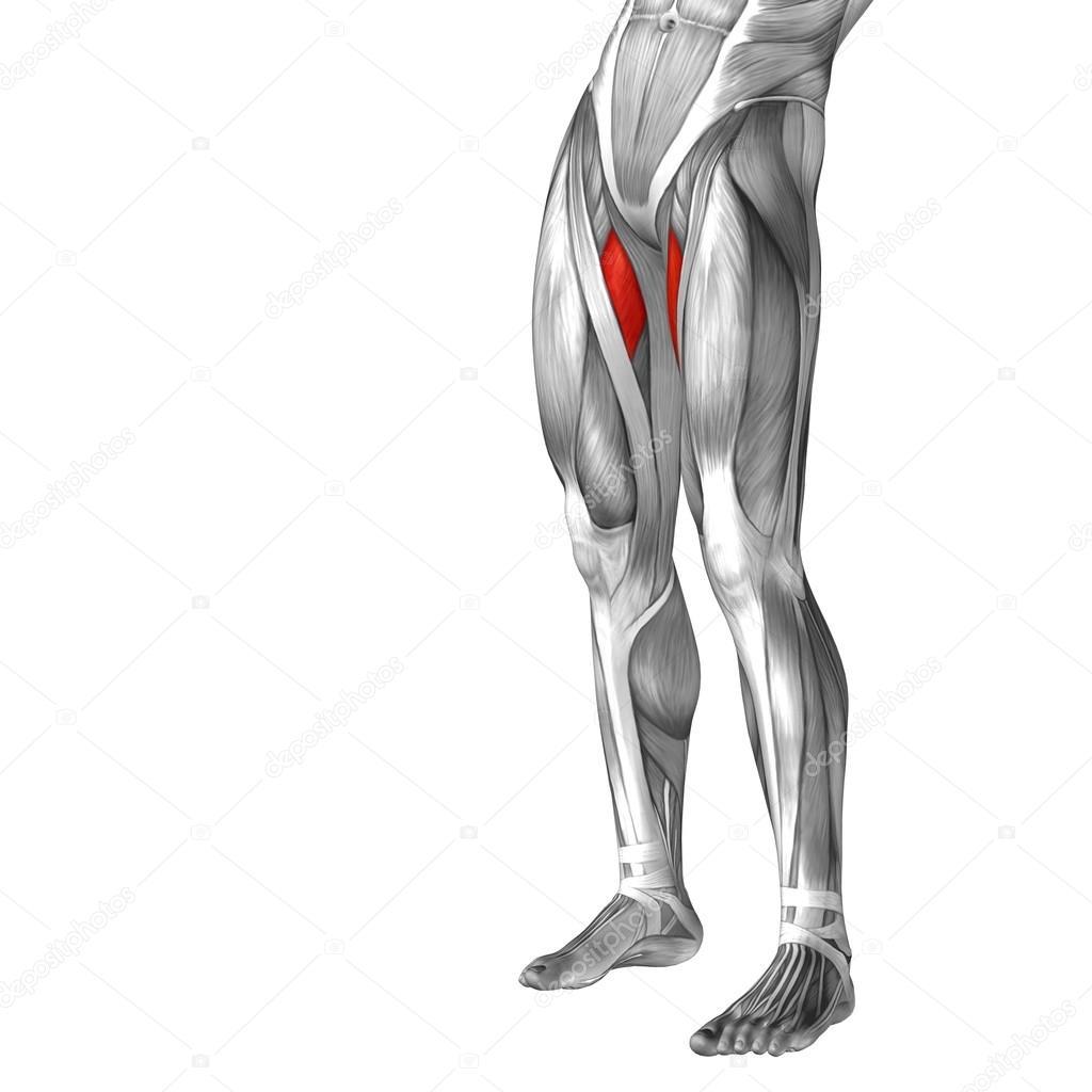Menschliches Bein Anatomie — Stockfoto © design36 #69601693