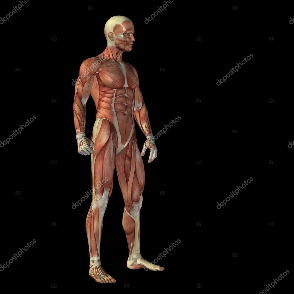 hombre con músculos para diseños de anatomía — Fotos de Stock ...