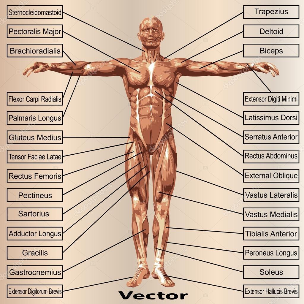 Anatomía masculina con los músculos — Vector de stock © design36 ...