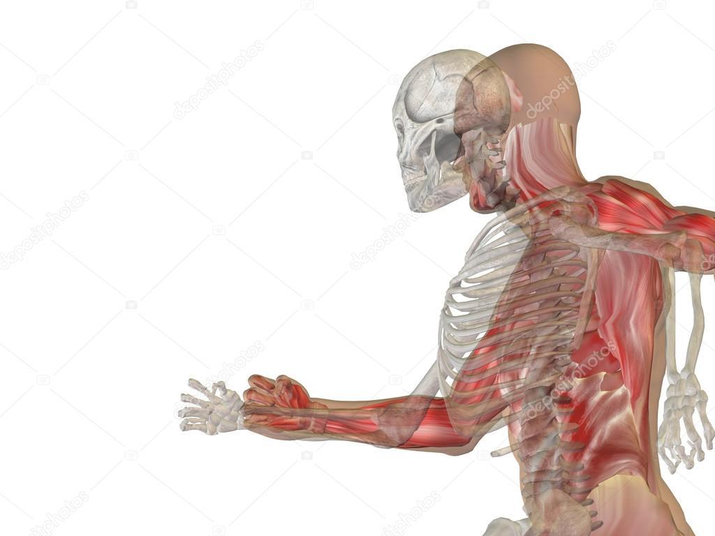 Menschliche Anatomie mit Knochen — Stockfoto © design36 #71478265