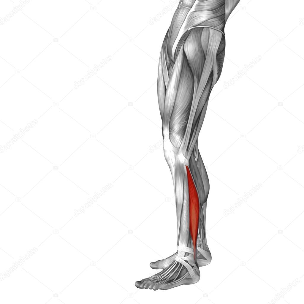 human lower leg anatomy — Stock Photo © design36 #72608097