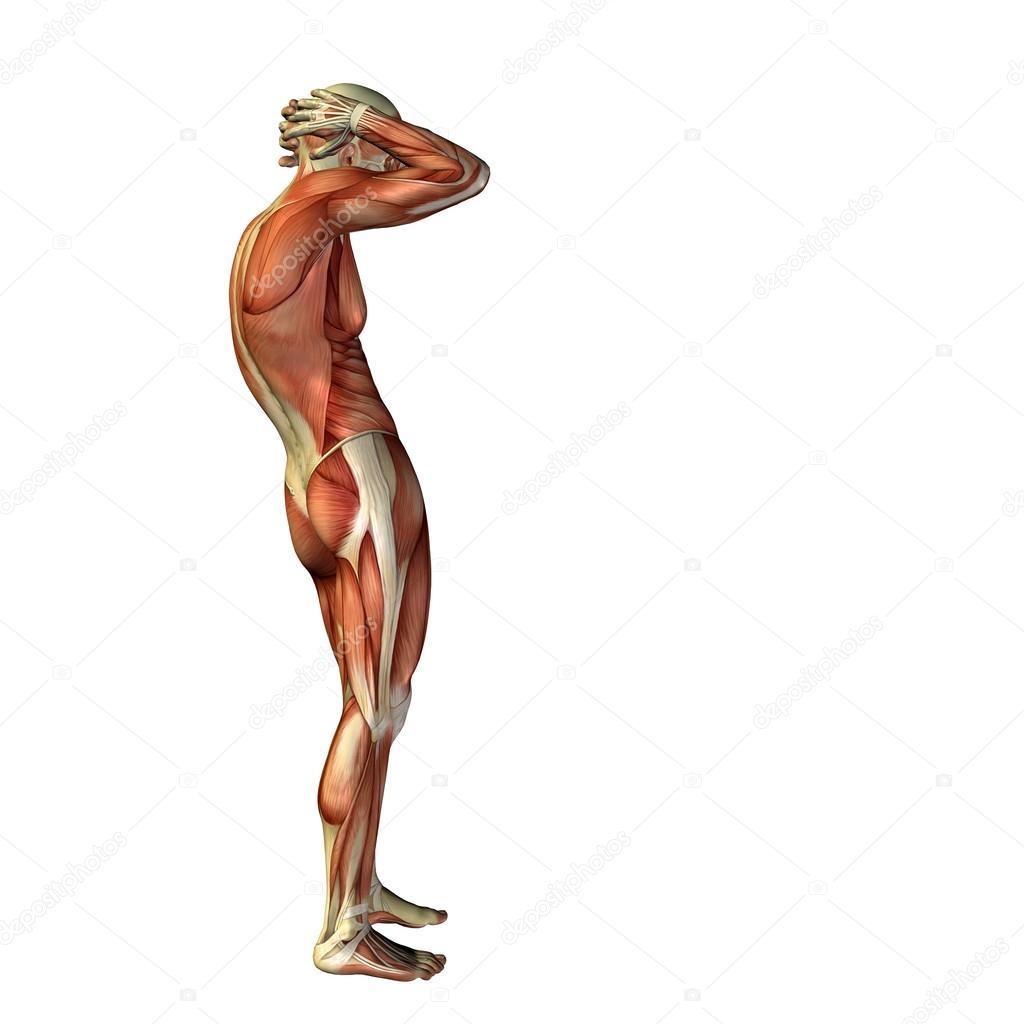 man met spieren voor anatomie ontwerpen — Stockfoto © design36 #72608377