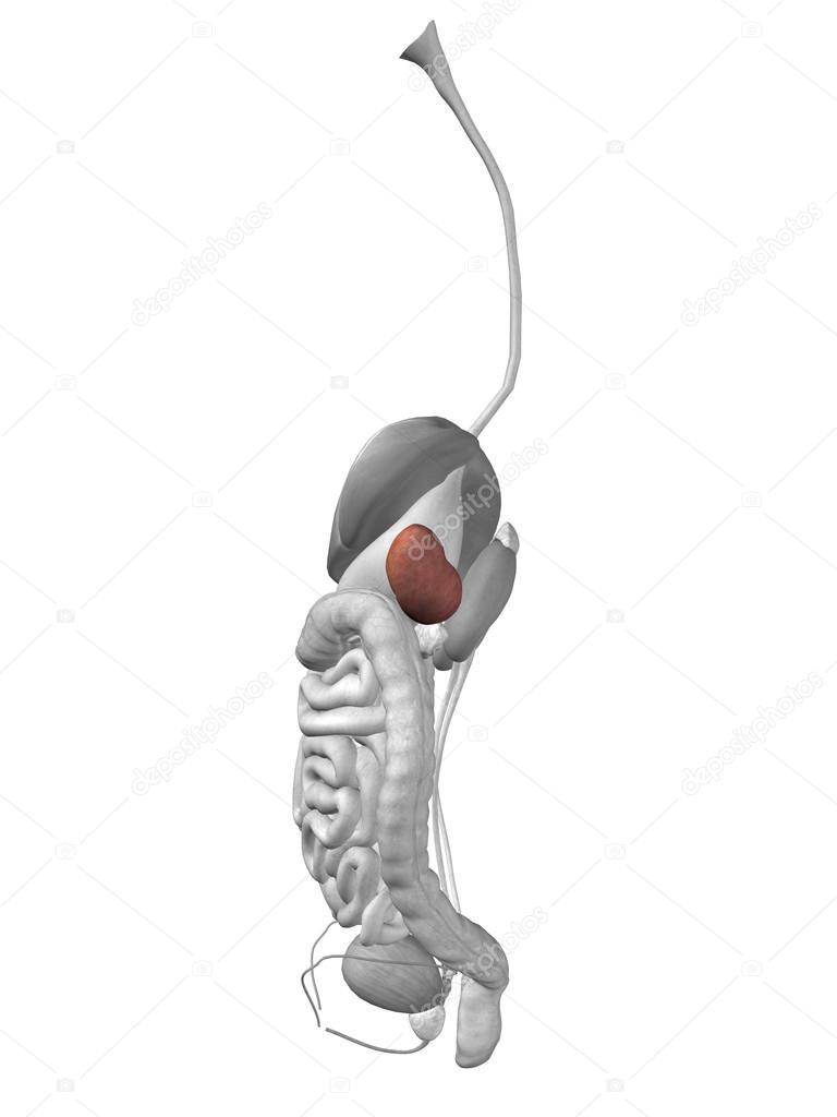 Órganos bazo y sistema digestivo — Fotos de Stock © design36 #72608813
