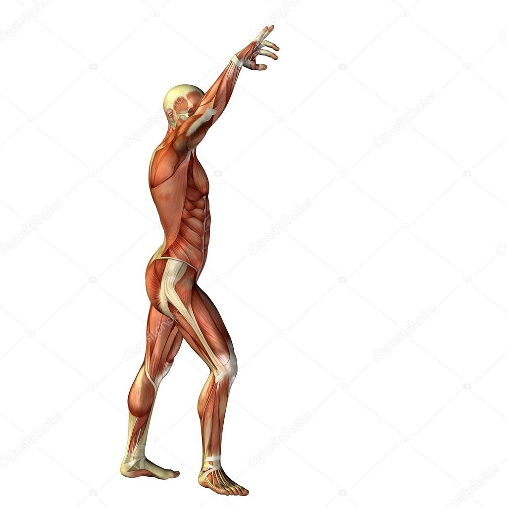Mann mit Muskeln für Anatomie-designs — Stockfoto © design36 #72609663