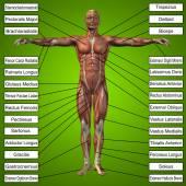 3D muž svaly a textem