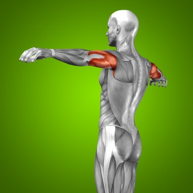 3D triceps human anatomy and muscle