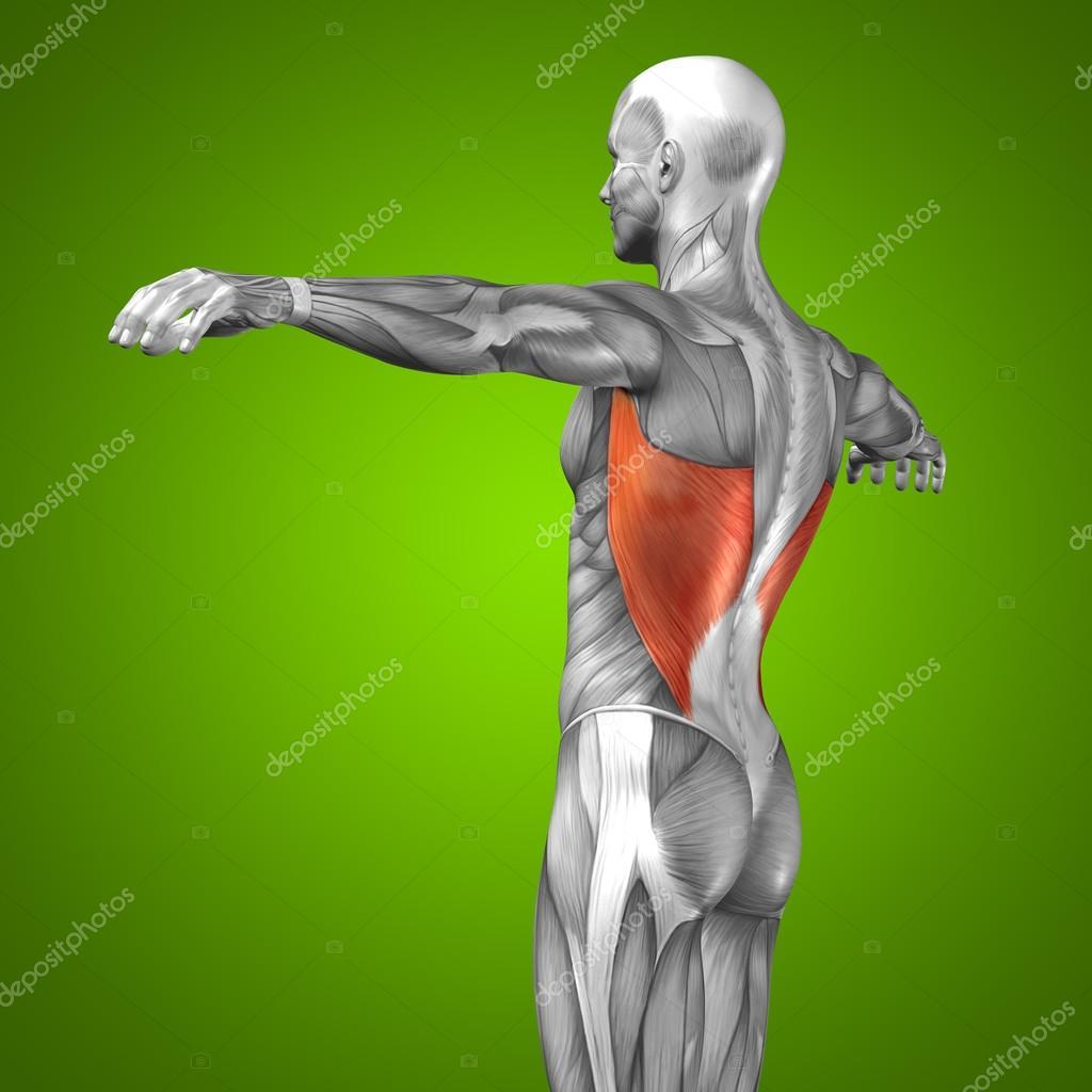 3D Anatomie zurück und Muskel — Stockfoto © design36 #74381519