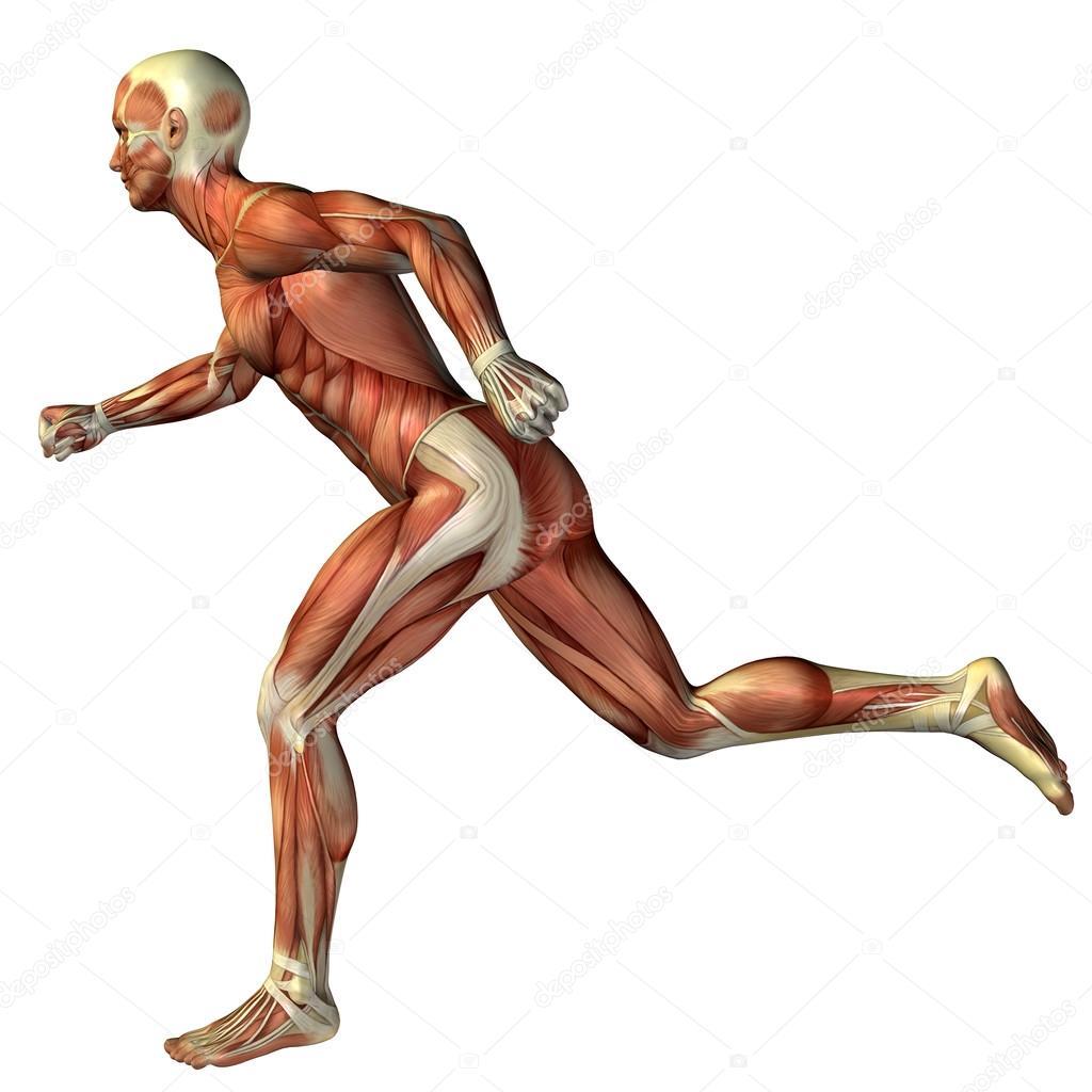 3D-man met spieren voor anatomie — Stockfoto © design36 #74381595