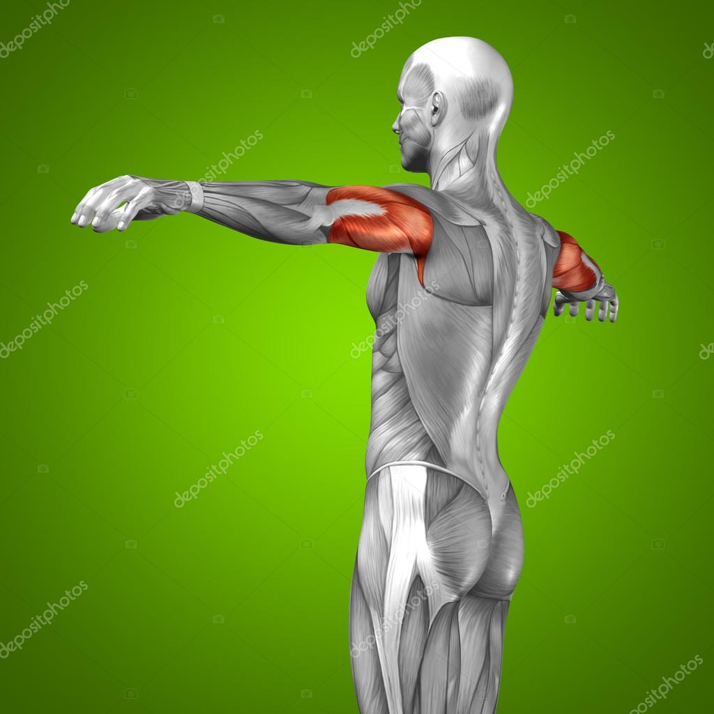 3D Anatomie Trizeps und Muskel — Stockfoto © design36 #74381635