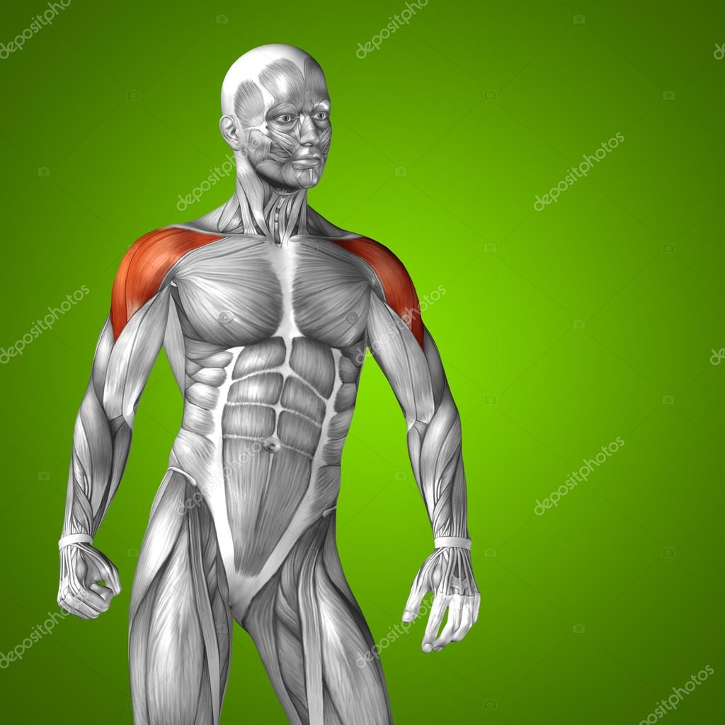 músculo y 3d anatomía humana de tríceps — Fotos de Stock © design36 ...