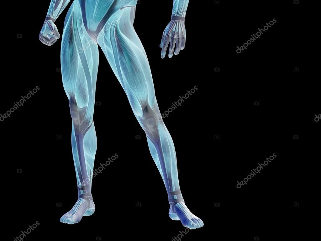 Stong Mann 3d anatomie Unterkörper — Stockfoto © design36 #74381857