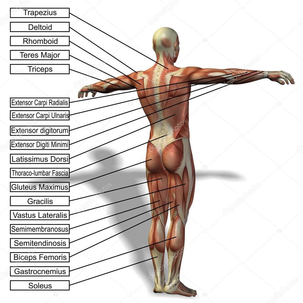 Ein 3d männlich oder menschliche Anatomie — Stockfoto © design36 ...