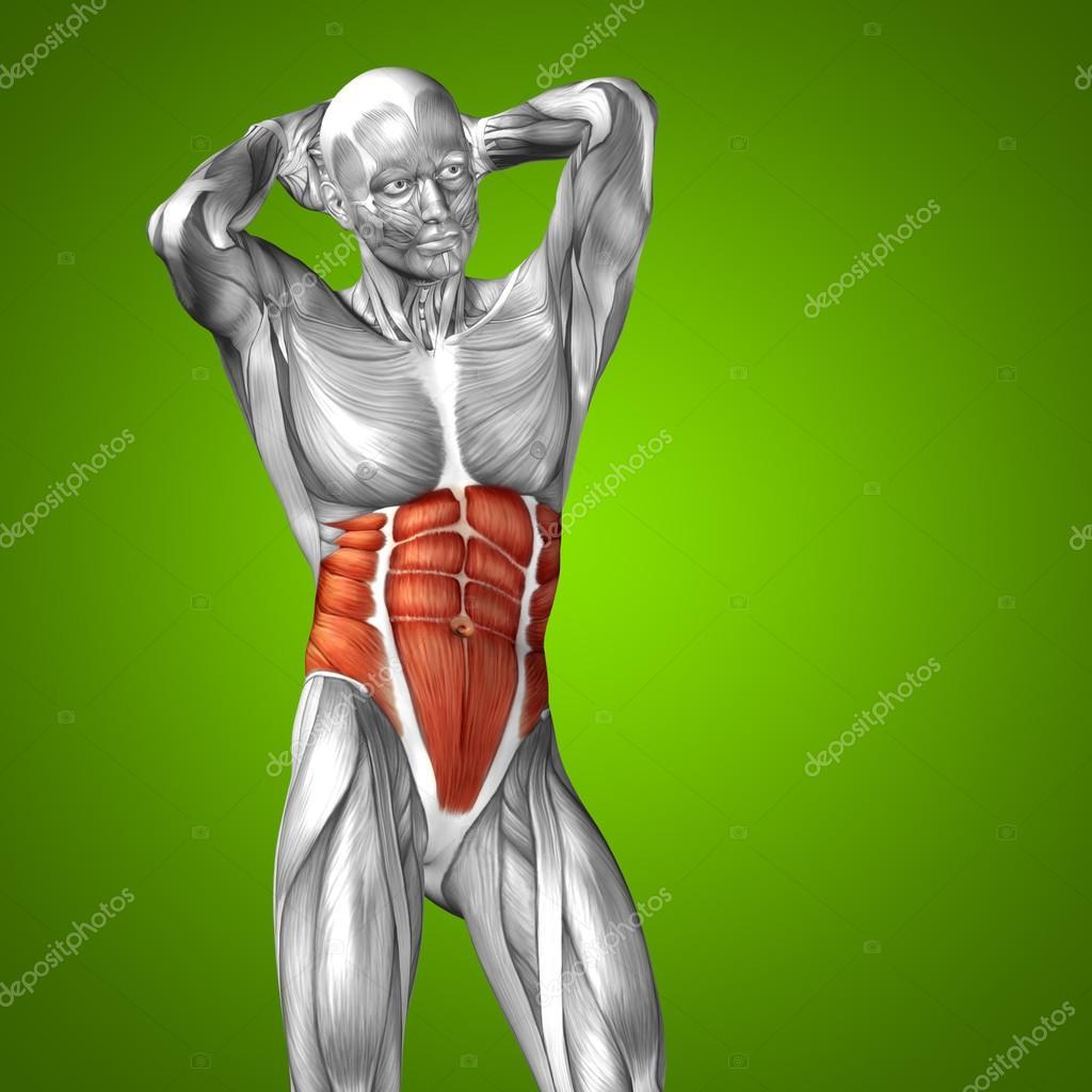 músculo y la anatomía humana de pecho 3d — Foto de stock © design36 ...