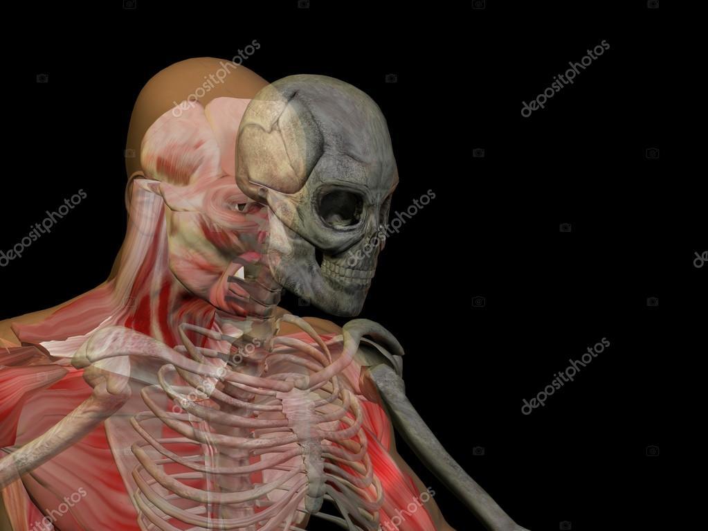 Mensch oder männlich 3d anatomie mit Knochen — Stockfoto © design36 ...