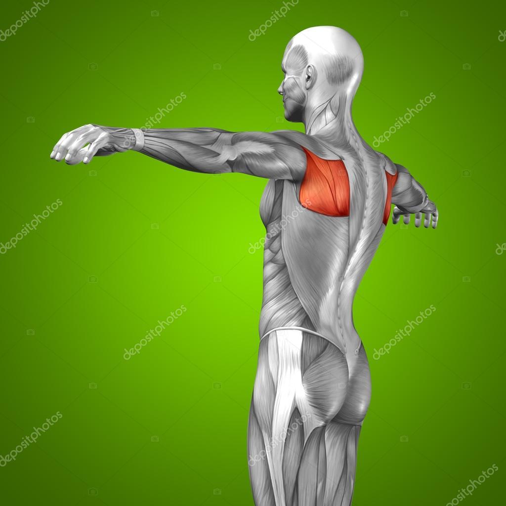 músculo y anatomía 3d nuevo — Fotos de Stock © design36 #74382961