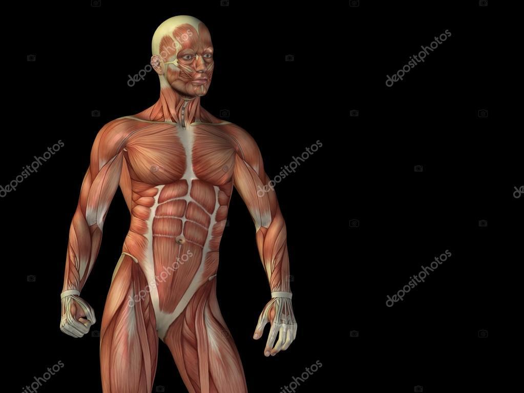 hombre 3d anatomía parte superior del cuerpo con el músculo para la ...