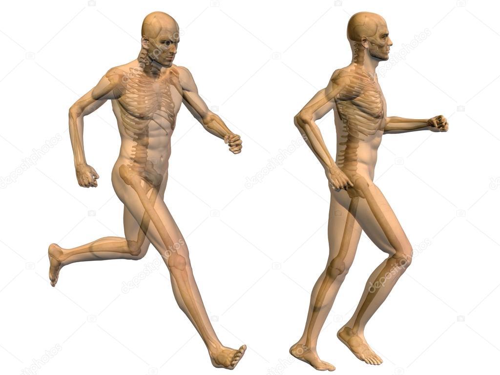 3D humanos con los músculos y el esqueleto para la anatomía — Foto ...