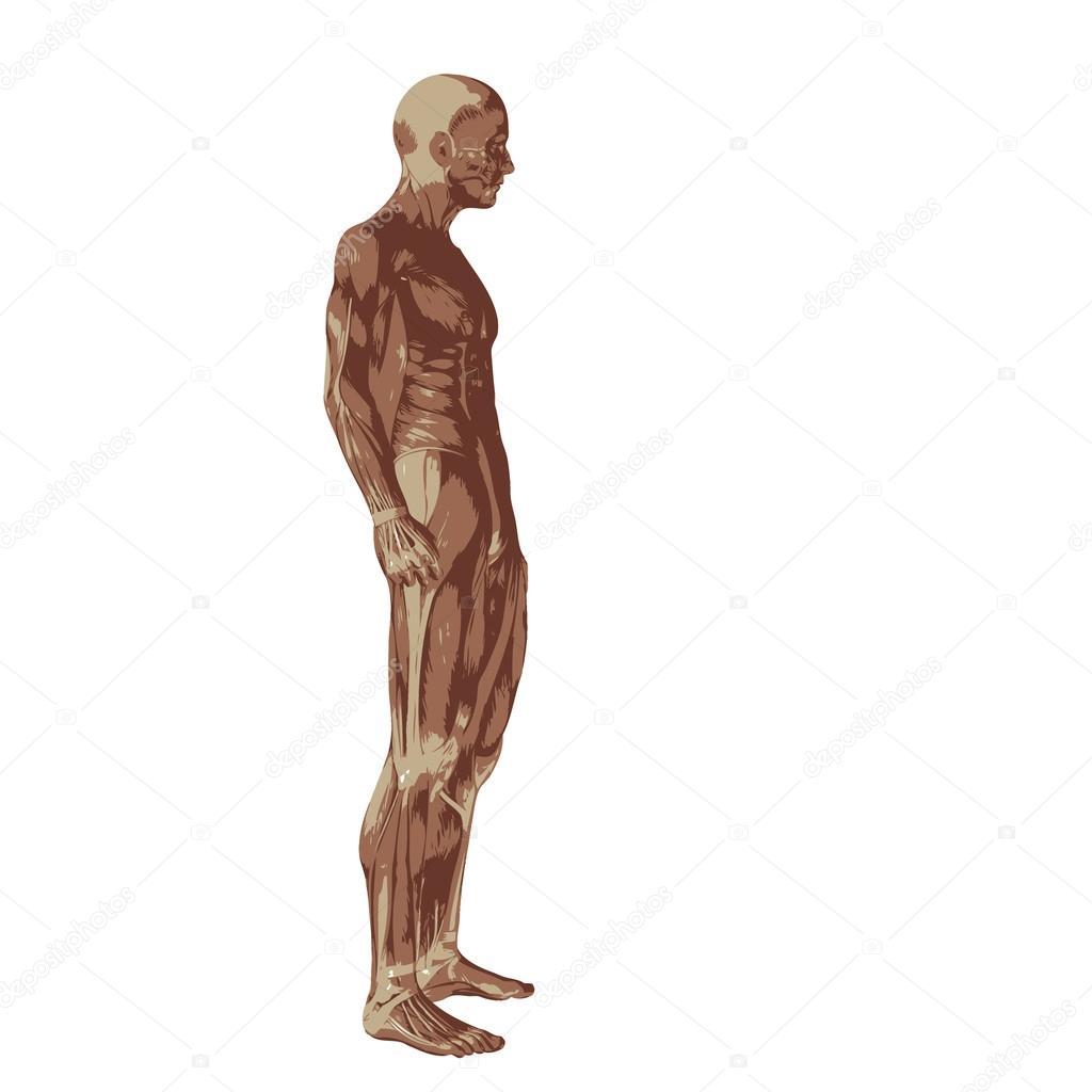 3D humanos u hombre con músculos para anatomía — Foto de stock ...