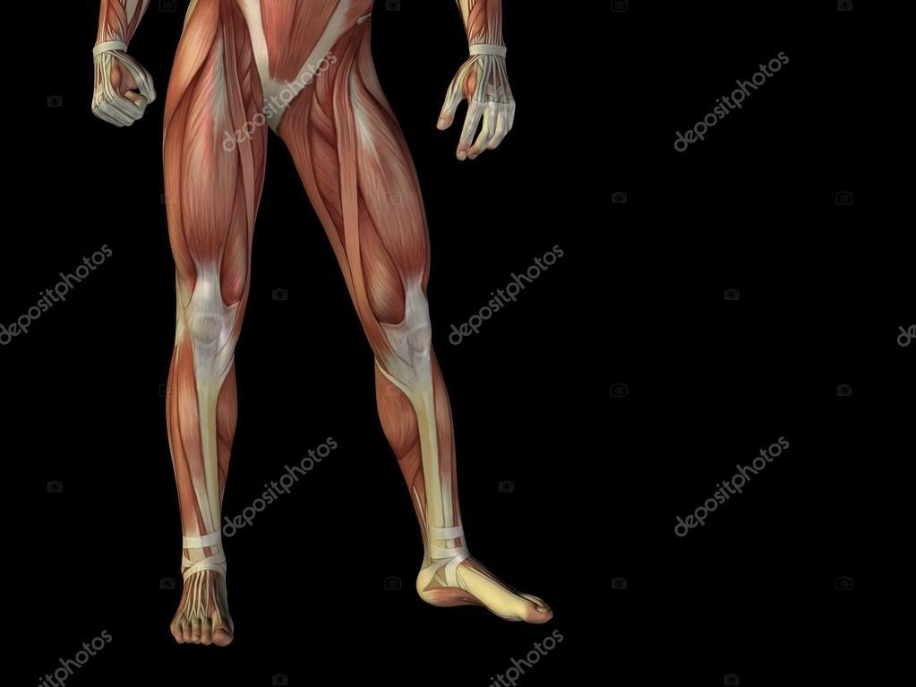 hombre 3d anatomía parte inferior del cuerpo con el músculo para la ...