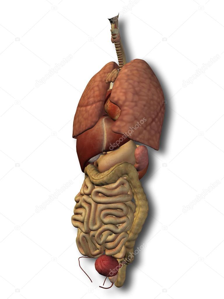 3D Menschen oder Man Bauch oder Brustkorb Innenorgane Anatomie ...