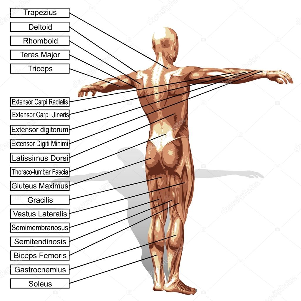 A 3D male or human anatomy — Stock Photo © design36 #75396443