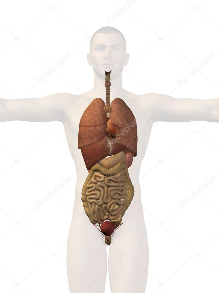 Man structure with internal organs stock photo design36 76346377 man structure with internal organs stock photo ccuart Images