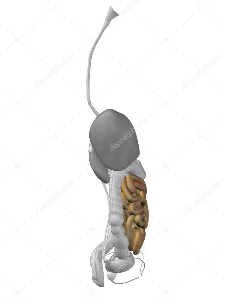 Anatomie van de mens van darm orgel — Stockfoto © design36 #76347401